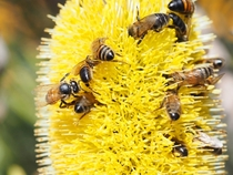 Honeybees enjoying this Banksia attenuata Sandplain Banksia inflorescence Gracetown Western Australia