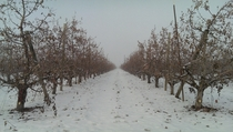Honeycrisp Orchard WA