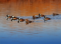 Hooded mergansers Lophodytes cucullatus   male three female