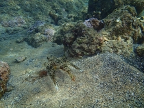 Hope this is a good place for this - heres a Flying Gurnard I saw in Hawaii