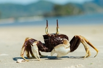 Horned Ghost Crab by the Thai National Parks  rHI_Res link in comments