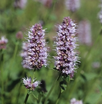 Horse Mint Agastache urticifolia Humboldt-Toiyabe National Forest California