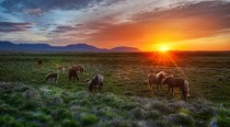 Horses at  AM sunset in Iceland