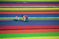 Horticulturists work in a field of dyed heather on September   in the eastern French town of Bischoffsheim