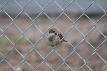 House sparrow Passer domesticus sitting in chainlink fence