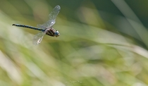 Hovering blue dragonfly