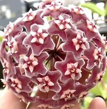 Hoya bloom