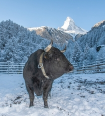 Hrens breed with snow and the Matterhorn Cervin in French in the background view from Zermatt