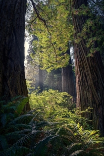 Huge Redwoods in Jedediah Smith Redwoods State Park CA  Ig holysht