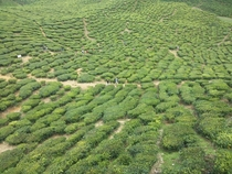 Huge tea farms I saw last summer in Cameron Highlands