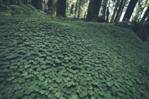 Humboldt Redwoods forest ground cover