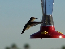 Hummingbird at the feeder Sorry its only  Taken in Fountain Hills AZ