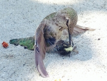 Hummingbird collided with bee and it ended up impaled on its beak