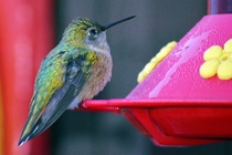 Hummingbird in Platoro Colorado