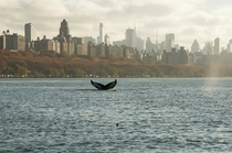 Humpback Whale in the Hudson River NYC