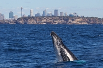 Humpback Whale km from Sydney Harbour x-post rAustralia