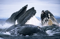 Humpback Whales in Alaska USA Photo credit Duncan Murrell  Robert Harding  Bios