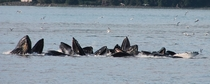 Humpback Whales Megaptera novaeangliae Bubble Net Feeding in Auke Bay Alaska OC
