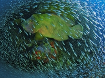 Humphead Wrasse in a school of Glass Fish  by Christian Miller