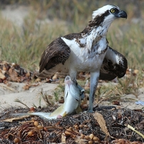 Hungry Osprey Pandion haliaetus i found in Laguna Beach CA OC