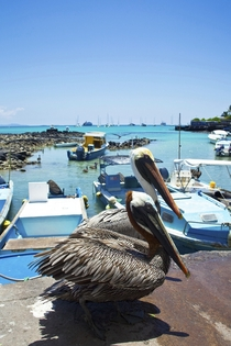 Hungry pelicans in the Galapagos