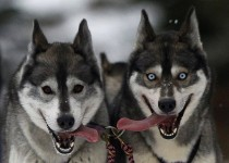 Huskies pant during a sled dog training session at Feshiebridge in Aviemore Scotland