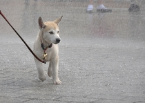 Husky puppy in the rain at the Main Square Cracow Poland --