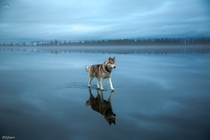 Husky walking on a frozen lake in Northern Russia  XPost rCanineMajesty