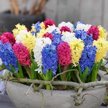 Hyacinths of various colors