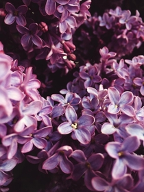 Hydrangea blossoms  x photo taken by me