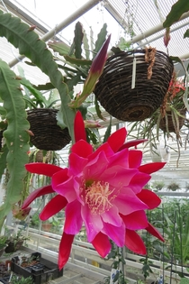 Hylocereus I think Dragon Fruit Flower