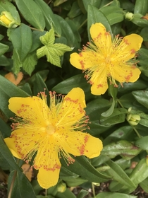 Hypericum perforatum St Johns Wort blooming a little early for th June