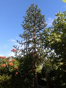 I absolutely love my front yard Araucaria araucana Monkey Puzzle Tree