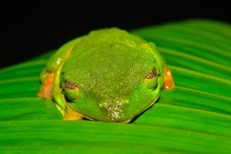 I also took a picture of a Red-Eyed Tree Frog Agalychnis callidryas in Costa Rica This was at Corcovado National Park