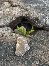 I believe its a small Ohia Lehua Took this picture on a lava field on Big island Hawaii