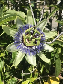 I believe this is a Passion flower It and a bunch of others were growing on a vine in my backyard We didnt plant them
