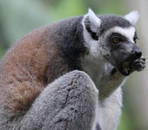 I dont know the exact name but I had guess its a lemur