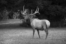 I drive a couple of hours to see these guys a few times a year and its always worth it Bull Elk C canadensis Great Smoky Mountains National Park