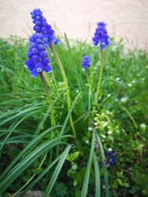 I find the flowers look so sweet from the Little Grape Hyacinth Muscari botryoides