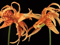 I found an old image of mine thats perfect for this subreddit Tiger Lilies Lilium lancifolium