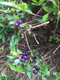 I found these amethyst coloured berries on a shrub in Hertfordshire England in DecemberDoes anyone know what the shrub might be Looks like some form of privet