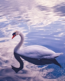 I found this beautiful swan at the lake Jarkovci Serbia