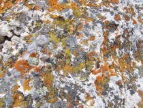 I found this in Northern Wyoming near the exit of Yellowstone Simple lichens on a boulder
