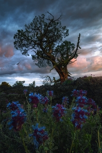 I found this tree and these flowers growing out of lava rock in Lava Beds National Monument CA Image by Victor Carreiro