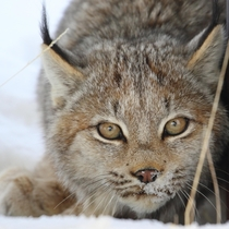 I had some intense eye contact with this Canada Lynx yesterday in Northern Alaska