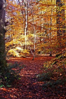 I love Autumn walks - Beech trees