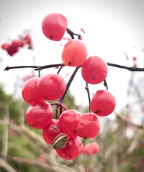 I loved the contrast of the snail against the translucent berries Think its Guelder Rose