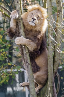 I may be stuck - Lion Panthera leo