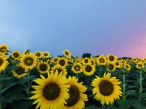 I passed by a sunflower field during sunset before a thunderstorm