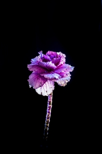 I photographed this cabbage passing as a flower what do you think